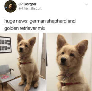 News, German Shepherd, and Golden Retriever: JP Gorgon  @The_Biscuit  huge news: german shepherd and  golden retriever mix