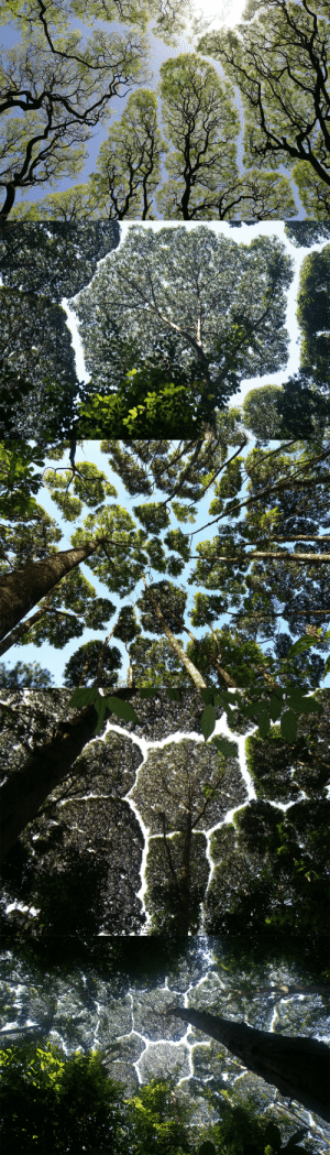 "jturn: itscolossal: The Phenomenon Of ""Crown Shyness"" Where Trees Avoid Touching  no homosynthesis : jturn: itscolossal: The Phenomenon Of ""Crown Shyness"" Where Trees Avoid Touching  no homosynthesis"