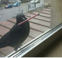 Hello, Love, and Shit: jumpingjacktrash:  vertisol:  offendedfunyarinpa:  dduane:  laurelai:  angelalchemy:  standbyfortitanfall:  girlwithalessonplan:  heliosapollo:  losed:  A CROW TRIED TO GO IN OUR CLASSROOM AND HE HAD A PEN  yes hello i am here to learn geometries  That crow is more prepared than some of my students.  You've all just like, completely skipped over the possibility that this crow has seen people using pens in this room, found one, and is trying to return it. There's been videos of crows picking up sweet wrappers and stuff and placing them in bins after seeing humans put their litter in bins. I really do believe that this crow is trying to return the pen and that is ADORABLE AS HELL.   THEY ARE SO SMART I LOVE THEM  Crows are thought to be self aware by some scientists. Its perfectly possible the crow wants to return the pen to humans. Knowing it belongs to humans.  Corvids. Who KNOWS. :)  Another cool crow deal: Once, when trying to assess if crows could reason and use tools, scientists had two crows who didn't know each other each take a wire from a table (one was hooked, one was straight) and try to grab meat from a bottle with it. The crows could see each other, though they had separate bottles. Only the straight wire worked for this, so they hypothesized that if crows could reason, the second trial would have the two crows fighting over the straight wire. The second trial started and, to the surprise of the scientists, the two crows both went for the bent wire, one held it down and the other unbent it. They both got meat out of their bottles. They came to a peaceful solution without verbal communication. Crows are probably smarter than we are.  they still shit all over the place and eat garbage  ok but so do we