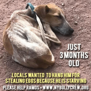 Dogs, Future, and Ignorant: JUST  3MONTHS  OLD  LOCALS WANTED TO HANG HIM FOR  STEALING EGGS BECAUSE HEIS STARVING  PLEASE HELPRAMOS WWWNYBULLYCREW.ORG STARVING PUPPY🚨 https://tinyurl.com/y6ccvyn4   PLEASE HELP- Melissa contacted us to ask if we could assist her with this young, starving little boy.  Ramos is about 3 months old and already he is facing hardship and despair.  The rope around his neck was placed so locals could hang him because he was stealing eggs from chickens because he is starving!  We could not bear to think of this tiny fella being harmed by unkind, ignorant people and of course we told Melissa to do whatever she could to save him and keep him safe.  Please donate to Ramos' immediate medical care as he will need a full evaluation, blood panels, and future neuter once he gains healthy weight.  He is loaded with fleas and we suspect intestinal parasites and probable erhlichia as most street dogs are inflicted with the tick borne disease.  Please consider sponsoring Ramos.  He deserves better than what the first 3 months of his life has given him. To help Ramos please donate at www.nybullycrew.org > Adopt> Dire Cases> Ramos Or Venmo @newyorkbullycrew  #ramosnybc #nybchonduras #rescuehasnoborders #nybcpuppies #nybcfoodfund #savestreetdogs