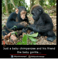 Memes, Baby, and 🤖: Just a baby chimpanzee and his friend  the baby gorilla...  団/d.dyouknowpagel。@didyouknowpage