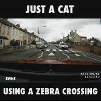 That is one clever cat 😂: JUST A CAT  2016/09/04  11:11:47  SWNS  USING A ZEBRA CROSSING That is one clever cat 😂