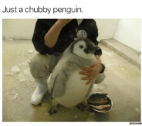 Here's your daily dose of cuteness.: Just a chubby penguin.  memes  Com Here's your daily dose of cuteness.
