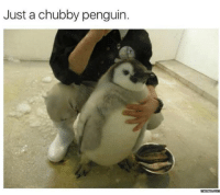 Here's your daily dose of cuteness.: Just a chubby penguin.  memesscom Here's your daily dose of cuteness.