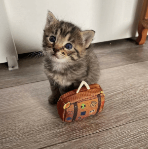 Just a cute baby kitten going on a trip(via): Just a cute baby kitten going on a trip(via)
