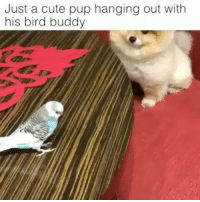 Repost @thisisthe_aardvark ・・・ The sweetest little friendship 😩 Follow @thisisthe_aardvark . . . Credit: @shila_the_pom relate accurate relatemuch relatable canconfirm meme memesdaily videomeme hilarious lol funny funnyvideo video viral viralvideo videooftheday budgie dog friends bestfriends: Just a cute pup hanging out with  his bird buddy Repost @thisisthe_aardvark ・・・ The sweetest little friendship 😩 Follow @thisisthe_aardvark . . . Credit: @shila_the_pom relate accurate relatemuch relatable canconfirm meme memesdaily videomeme hilarious lol funny funnyvideo video viral viralvideo videooftheday budgie dog friends bestfriends