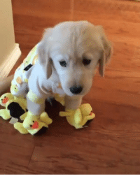Duck, Golden Retriever, and Just: Just a golden retriever wearing duck pajamas and matching slippers 🐶🐥