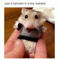 Gotta dress to impress (@hilarious.ted): Just a hamster in a tiny sweater Gotta dress to impress (@hilarious.ted)