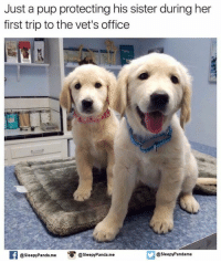 Memes, Sister, Sister, and Panda: Just a pup protecting his sister during her  first trip tothe vet's office  Panda me  @sleepy Pandame  @sleepy Panda me o @Slee