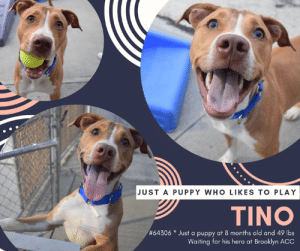 Being Alone, Apparently, and Cats: JUST A PUPPY WHO LIKES TO PLAY  TINO  #64306 * Just a puppy at 8 months old and 49 lbs  Waiting for his hero at Brooklyn ACC TO BE KILLED 6/4/2019  JUST A 9 MONTH OLD PUPPY WHO LIKES TO PLAY!!  Friendly and Active, Tino is a pup who likes treats and toys!  At just 9 months old, he has much to learn, but is a ready student, especially with the right treats involved!  Tino likes to be around people, and is very playful, especially with balls and squeaky toys.  JUST WATCH HIS VIDEO TO SEE!  He is crate and house trained, but like an young dog, can still manage to get into some trouble when left unsupervised.  BUT THAT IS NO REASON TO KILL HIM.  According to volunteers - HE IS A REALLY GOOD BOY! He knows his sit and is eager to please and is searching for an active family to call his own. So please please consider opening your home and your heart and #SAVETINO now!  MY MOVIE  Tino <3 playful puppers https://youtu.be/mTAk3mgm__4  Tino  #64306 Neutered male bronze dog  at Brooklyn Animal Care Center About 8 months old. Weight: 49.0625 lbs Owner surrender on 29-May-2019, with the surrender reason stated as person circumstance- landlord won't allow (nycha).  Sorry, this pet is for new hope partners only.  Tino was placed at risk due to behavioral concerns; he is not thriving here in the care center and is displaying resource guarding behavior and a low threshold for arousal. We feel Tino should be placed with an experienced rescue partner who can reassess his behavior in a more stable home environment before seeking permanent placement. Force-free, reward-based training only is advised as well as seeking guidance from a qualified trainer or veterinary behaviorist. Tino is otherwise healthy.  WATCH MY VIDEO HERE: https://youtu.be/mTAk3mgm__4  My medical notes are... Weight: 49.0625 lbs  Vet Notes 29/05/2019  DVM Intake Exam  Estimated age: 8 months Microchip noted on Intake? negative History : os Subjective: BARH Observed Behavior - comes into the room loose, tail wagging, ears up, eyes soft and focused. Likes attention. With restraint and muzzle flails and becomes tense and nervous. Reacts to vaccines by thrashing head around and barking and snapping. When presented with bowl with food he growled and grabbed it away from handler and would not let it go. Evidence of Cruelty seen - no Evidence of Trauma seen - no  Objective  P = wnl  R = eupneic  BCS 4/9 EENT: Eyes clear, ears clean, no nasal discharge noted Oral Exam: clean adult dentition, no oral lesions noted PLN: No enlargements noted H/L: NSR, NMA, CRT < 2, Lungs clear, eupneic ABD: Non painful, no masses palpated U/G: MN MSI: Ambulatory x 4, skin free of parasites, no masses noted, healthy hair coat CNS: mentation appropriate - no signs of neurologic abnormalities  Assessment: Apparently healthy  Plan: Continue to monitor while at BACC Give time to settle tomorrow and try HWT and MC again +/- sedation  Prognosis: Excellent  SURGERY: neutered  Details on my behavior are... Behavior Condition: 3. Yellow  Behavior History Behavior Assessment During intake: Tino has a loose body and he was interested in treats. He allowed the counselor to collar him and take his picture with no problem.  Spay/Neuter Status: Neutered  Basic Information:: Tino is a bronze and white neutered dog that was surrendered by his owner due to tenant landlord issues. The owner stated that he got Tino from a friend 2 weeks ago. The lat time Tino was seen by a vet is unknown  Previously lived with:: Owner 2 adults 2 dogs  How is this dog around strangers?: When around strangers Tino is friendly and outgoing. When playing with adults he is gentle.  How is this dog around children?: Tino hasn't spent time in the home with children so it is unknown how he will react.  How is this dog around other dogs?: Tino spent time in the home around 2 other large dogs and he was relaxed and playful. When playing with the other dogs he is gentle.  How is this dog around cats?: Tino has not spent time in the home with cats so it is unknown how he will react.  Resource guarding:: Owner stated that Tino is friendly if someone was to touch his food treats or toys. Owner stated that he will bark if someone unfamiliar approaches his house. He is friendly if someone unfamiliar approaches his family member.  Bite history:: Tino does not have a bite history  Housetrained:: Yes  Energy level/descriptors:: High  Other Notes:: Owner stated that Tino will chew things left to the floor so he has been dragged when left alone in the home. During loud noises and fireworks he isn't bothered. It is unknown how he will react when being bathed brushed and having his nails trimmed. He is not bothered if he is restrained pushed off the furniture or disturbed while he sleeps.  Has this dog ever had any medical issues?: No  Medical Notes: No reported medical concerns  For a New Family to Know: Owner described Tino as friendly excitable and playful. When at home he likes to be in the same room as his owner. He likes to play with balls and squeaky toys. He has been kept mostly indoors and eats dry dog food. When using the bathroom he will go outside on the grass or cement. He has never been left alone and when left alone in the home he is crated. He knows how to sit and come when called. He is used to brisk walks on the leash. When off the leash he might run away.  Date of intake:: 5/29/2019  Spay/Neuter status:: Yes  Means of surrender (length of time in previous home):: Owner surrender  Previously lived with:: 2 Adults, 2 Dogs (Large)  Behavior toward strangers:: Friendly, outgoing and plays gently  Behavior toward children:: Unknown  Behavior toward dogs:: Relaxed and plays gently (w/resident dogs)  Behavior toward cats:: Unknown  Resource guarding:: None reported  Bite history:: None reported  Housetrained:: Yes  Energy level/descriptors:: Tino is described as friendly, excitable and playful with a high level of energy.  Summary:: 5/31/19 Leash Walking Strength and pulling: Moderate pulling Reactivity to humans: None Reactivity to dogs: None Leash walking comments:  Sociability Loose in room (15-20 seconds): Soft-neutral body, tail high, explores room, jumps up onto desk, checks in with handlers, accepts some contact, high energy, tense head, accepts treats with some mouthiness  Call over: Approaches readily, jumps up onto handler Sociability comments: When assistant picks up leash, Tino jumps up and mouths leash; Redirected with squeaky toy  Handling comments: Upon the start of the handling portion, the assessor picked up the leash after Tino approached where he was then observed to begin mouthing and biting the leash. The assistant attempted to redirect Tino's attention by pressing a squeaker, on which Tino became fixated. When the assessor attempted to continue the handling, Tino began to pull toward the assistant and vocalize, fixating on both the squeaker and the assistant. As a result of these behaviors, the assessment was concluded.   Re-assessment - 6/1/19: Leash Walking Strength and pulling: Hard pulling Reactivity to humans: None Reactivity to dogs: None Leash walking comments:  Sociability Loose in room (15-20 seconds): Soft-neutral body, tail high and wagging, explores the room, approaches handlers, jumps up onto desk, open mouth, some panting, ears forward, tense head, licks handler Call over: Approaches with coaxing Sociability comments:   When the assessor began the assessment and called Tino over, he approached readily before turning around and was observed to fixate on the assistant and the items in her hand. He was then observed to mouth them. Tino was unable to redirect easily and when the assessor walked over and grabbed his leash to bring him back away from the assistant, Tino was observed to turn quickly, jump up and bite the leash. He continued to do this, clamping down until he was redirected by the assistant. Once he released the leash, he turned and fixated again on the assistant. As a result of these observed behaviors, the assessment was concluded.  Summary:: According to Tino's previous owner, he spent time in the home around two other large dogs and he was relaxed and playful. When playing with the other dogs he is gentle.  5/30: When off leash at the Care Center, Tino is introduced to a novel female dog. He is nervous as he greets her and walks away to explore the pens. He attempts to approach her when she is distracted but when the female notices him he darts away. He then keeps to himself for the remainder of the session.  6/2: Tino was anxious during today's session. He exchanges greet at the gate with a novel female but paces the play yard for the duration of the session.  Date of intake:: 5/29/2019  Summary:: Loose body, accepted treats; Allowed all handling  Date of initial:: 5/29/2019  Summary:: Initially soft and loose; Tense and nervous with handling, thrashed, barked snapped; Muzzled  ENERGY LEVEL:: Tino was observed to exhibit a medium-high level of energy during his interactions in the care center. We cannot be certain of his behavior in a home environment, but we recommend that he be provided daily mental and physical stimulation as an outlet for his energy.  IN SHELTER OBSERVATIONS:: Additional Behavior Upon Medical (5/29/19): Tino was observed to enter the room displaying a loose body, tail wagging with ears erect, eyes were soft and focused. He also solicited attention from staff. Tino was muzzled as a precaution during his exam and while being handled for the exam, Tino was observed to become tense, thrashed, barked and snapped toward handlers. After his exam, Tino was offered food in a bowl and he began to growl, grabbed the bowl from the handler and would not relinquish.  BEHAVIOR DETERMINATION:: New Hope Only  Behavior Asilomar: TM - Treatable-Manageable  Recommendations:: No children (under 13),Place with a New Hope partner  Recommendations comments:: No children (under 13): Due to the low threshold for arousal Tino has displayed in the care center on multiple occasions, observed resource guarding behavior and previous owner's report of destructive behavior, we feel he would be best set up to succeed in an experienced, adult-only home environment.   Place with a New Hope partner: While Tino has been observed to seek attention from handlers, he has displayed resource guarding behavior and a low threshold for arousal. During his first attempt for an assessment, Tino became fixated on a squeaker and redirected that fixation onto the assistant once the squeaker was removed from the room. His inability to recover caused the assessment to be concluded and attempted the next day. When attempting to re-assess, Tino was immediately observed to fixate on the assistant at the beginning of the interaction. When the handler approached Tino and attempted to walk him away from the assistant, Tino was observed to jump up and bite the leash and did not recover quickly. The session was once again concluded. Due to these observed behaviors, we feel Tino should be placed with an experienced rescue partner who can reassess his behavior in a more stable home environment before seeking permanent placement. Force-free, reward based training only is advised as well as seeking guidance from a qualified trainer or veterinary behaviorist.  Potential challenges: : Resource guarding,Destructive behavior,Leash-biting,Low threshold for arousal  Potential challenges comments:: Resource guarding: Tino exhibited resource guarding behavior during his interactions in the care center. When offered food in a bowl following his medical exam, Tino was observed to growl, grabbed the bowl from the handler and would not relinquish. Please refer to the handout on Resource guarding.  Destructive behavior: Previous owner reported that Tino will chew household items that are left on the floor when left alone in a home environment. Please refer to the handout on Destructive behavior.  Low threshold for arousal: Tino has been observed to exhibit leash-biting behavior when overstimulated and escalated to lunging, vocalizing and fixating onto items and handlers when attempting to redirect his attention from the leash. Please refer to the handout on Low threshold for arousal.  *** TO FOSTER OR ADOPT ***  If you would like to adopt a NYC ACC dog, and can get to the shelter in person to complete the adoption process, you can contact the shelter directly. We have provided the Brooklyn, Staten Island and Manhattan information below. Adoption hours at these facilities is Noon – 8:00 p.m. (6:30 on weekends)  If you CANNOT get to the shelter in person and you want to FOSTER OR ADOPT a NYC ACC Dog, you can PRIVATE MESSAGE our Must Love Dogs page for assistance. PLEASE NOTE: You MUST live in NY, NJ, PA, CT, RI, DE, MD, MA, NH, VT, ME or Northern VA. You will need to fill out applications with a New Hope Rescue Partner to foster or adopt a NYC ACC dog. Transport is available if you live within the prescribed range of states.  Shelter contact information: Phone number (212) 788-4000 Email adopt@nycacc.org Shelter Addresses: Brooklyn Shelter: 2336 Linden Boulevard Brooklyn, NY 11208 Manhattan Shelter: 326 East 110 St. New York, NY 10029 Staten Island Shelter: 3139 Veterans Road West Staten Island, NY 10309  *** NEW NYC ACC RATING SYSTEM ***  Level 1 Dogs with Level 1 determinations are suitable for the majority of homes. These dogs are not displaying concerning behaviors in shelter, and the owner surrender profile (where available) is positive. Some dogs with Level 1 determinations may still have potential challenges, but these are challenges that the behavior team believe can be handled by the majority of adopters. The potential challenges could include no young children, prefers to be the only dog, no dog parks, no cats, kennel presence, basic manners, low level fear and mild anxiety.  Level 2  Dogs with Level 2 determinations will be suitable for adopters with some previous dog experience. They will have displayed behavior in the shelter (or have owner reported behavior) that requires some training, or is simply not suitable for an adopter with minimal experience. Dogs with a Level 2 determination may have multiple potential challenges and these may be presenting at differing levels of intensity, so careful consideration of the behavior notes will be required for counselling. Potential challenges at Level 2 include no young children, single pet home, resource guarding, on-leash reactivity, mouthiness, fear with potential for escalation, impulse control/arousal, anxiety and separation anxiety.  Level 3 Dogs with Level 3 determinations will need to go to homes with experienced adopters, and the ACC strongly suggest that the adopter have prior experience with the challenges described and/or an understanding of the challenge and how to manage it safely in a home environment. In many cases, a trainer will be needed to manage and work on the behaviors safely in a home environment. It is likely that every dog with a Level 3 determination will have a behavior modification or training plan available to them from the behavior department that will go home with the adopters and be made available to the New Hope Partners for their fosters and adopters. Some of the challenges seen at Level 3 are also seen at Level 1 and Level 2, but when seen alongside a Level 3 determination can be assumed to be more severe. The potential challenges for Level 3 determinations include adult only home (no children under the age of 13), single pet home, resource guarding, on-leash reactivity with potential for redirection, mouthiness with pressure, potential escalation to threatening behavior, impulse control, arousal, anxiety, separation anxiety, bite history (human), bite history (dog) and bite history (other).  New Hope Rescue Only  Dog is not publicly adoptable. Prospective fosters or adopters need to fill out applications with New Hope Partner Rescues to save this dog.