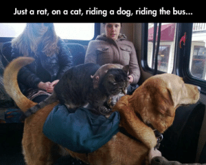 lolzandtrollz:  Jenga: Domestic Animals Edition: Just a rat, on a cat, riding a dog, riding the bus... lolzandtrollz:  Jenga: Domestic Animals Edition