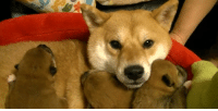 Just a shibe and her puppies.: Just a shibe and her puppies.