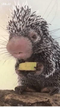 Dank, Banana, and 🤖: Just a tiny porcupine called Wilbur eating a slice of banana 😂🍌🙌
