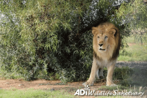 Africa, Animals, and Memes: JUST A TYPICAL SCENE IN AFRICA, EXCEPT LEO WAS BORN IN A CIRCUS CAGE IN PERU.  Leo circles, pushing his face into the leaves, rubbing his face against the trunk then casually continues on his way.  He was the first animal rescued by ADI as we enforced Peru's ban on wild animals in circuses.  After 11 years in a small, stinking cage, he now roams over 178,500sq ft of natural habitat in the ADI Wildlife Sanctuary, South Africa, with lioness Muñeca.  Leo was just the first, every circus animal in Peru was saved.  IF IT CAN HAPPEN IN PERU, IT CAN HAPPEN IN THE US.  This month the Traveling Exotic Animal & Public Safety Act (TEAPSPA) will be introduced in Congress.  We need your Representative to sponsor it. TEAPSPA IS COMING. BE PART OF THE CHANGE. BE PART OF THE CAMPAIGN. Find out more: bit.ly/SupportTEAPSPA Contact us to get involved - usa@ad-international.org #FederalCircusBill #StopCircusSuffering #TEAPSPA #SupportTEAPSPA