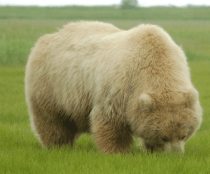 just-bears-here: binkabonkahankeydoo:   just-bears-here:  mediocre-savant:   lovetnaomi:  Is this a polar bear or a grizzly   Yes. (They can mix and the offspring can produce viable offspring,so…. Make of that what you will.)   Pizzly bears   no don't make that of it   That's what they're called : just-bears-here: binkabonkahankeydoo:   just-bears-here:  mediocre-savant:   lovetnaomi:  Is this a polar bear or a grizzly   Yes. (They can mix and the offspring can produce viable offspring,so…. Make of that what you will.)   Pizzly bears   no don't make that of it   That's what they're called