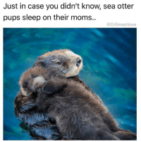 The lil otter is me imeejally after I bust deep inside the four walls of the Punani TeamWeepSoftlyIntoYourNeck AndThenSleepLikeABaby 🤗😂 (@dopegrounds): Just in case you didn't know, sea otter  pups sleep on their moms..  @DrSmashlove The lil otter is me imeejally after I bust deep inside the four walls of the Punani TeamWeepSoftlyIntoYourNeck AndThenSleepLikeABaby 🤗😂 (@dopegrounds)