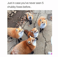 Funny, Chubbies, and Chubby: Just in case you've never seen 5  chubby foxes before @theladbible is my favorite account right now
