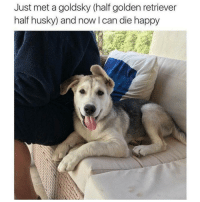 Funny, Golden Retriever, and Husky: Just met a goldsky (half golden retriever  half husky) and now Ican die happy I want one (@hilarious.ted)