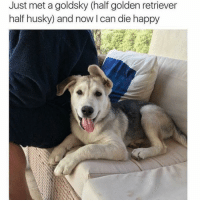 Memes, Golden Retriever, and Husky: Just met a goldsky (half golden retriever  half husky) and now l can die happy One of the cutest dogs I've ever seen!!!!! OH Maiiiii GAWDDDD!!!! 😍🐶🐾 @hilarious.ted
