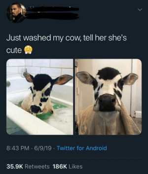 Android, Cute, and Twitter: Just washed my cow, tell her she's  cute  8:43 PM 6/9/19 Twitter for Android  35.9K Retweets 186K Likes Bath time :)