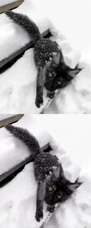 "justcatposts:  ""Cute little panther in snow. ❄️""(Source): justcatposts:  ""Cute little panther in snow. ❄️""(Source)"