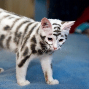 """justcatposts:  """"Have you ever seen a cat with such unusual markings? 🤔""""from kittyworks.com: justcatposts:  """"Have you ever seen a cat with such unusual markings? 🤔""""from kittyworks.com"""