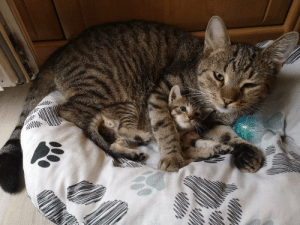 "justcatposts:  ""My friend got her old cat a kitten! They really love each other"" (Source): justcatposts:  ""My friend got her old cat a kitten! They really love each other"" (Source)"