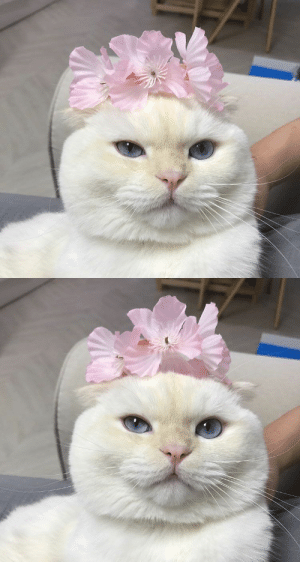 justcatposts:  Pretty kitty with a flower crown: justcatposts:  Pretty kitty with a flower crown