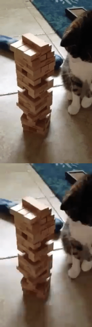 justcatposts:  Video games are great, but sometimes it's nice to unplug and play a game of Jenga with your cat (via): justcatposts:  Video games are great, but sometimes it's nice to unplug and play a game of Jenga with your cat (via)