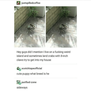 Cute, Fucking, and My House: justspilledcoffee  Hey guys did I mention I live on a fucking weird  island and sometimes land crabs with 8-inch  claws try to get into my house  scotchtapeofficial  cute puppy what breed is he  purified-zone  sideways Snip Snap Pup