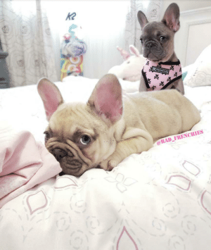 Cute, Guess, and Rad: K2  FRENCHIE  @RAD_FRENCHIES (just cute) Can you guess which one is the trouble maker?