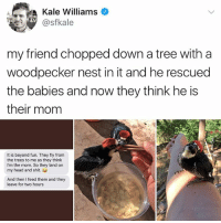 Sorry Daenerys but Mother of Woodpeckers sounds so much better than Mother of Dragons. 🥗❤️: Kale Williams  @sfkale  my friend chopped down a tree with a  woodpecker nest in it and he rescued  the babies and now they think he is  their mom  It is beyond fun. They fly from  the trees to me as they think  I'm the mom. So they land on  my head and shit.  And then I feed them and they  leave for two hours Sorry Daenerys but Mother of Woodpeckers sounds so much better than Mother of Dragons. 🥗❤️
