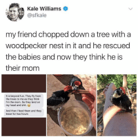 😂: Kale Williams  @sfkale  my friend chopped down a tree with a  woodpecker nest in it and he rescued  the babies and now they think he is  their mom  It is beyond fun. They fly from  the trees to me as they think  I'm the mom. So they land on  my head and shit.  And then I feed them and they  leave for two hours 😂