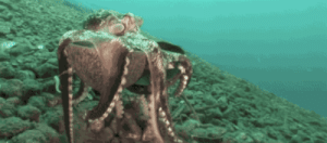 Love, Omg, and Target: kaleighbytheway: simonalkenmayer:   mrdetectivedouche:  simonalkenmayer:   hella-free-space:  gifsboom:  Octopus makes a rolling armor with a coconut. [video]   Always reblog for cephalopods♡  second order tool usage. A mark of higher intellect.   Okay but is the octopus scared and using the shell as a defense and faster getaway or is it rolling down the hill…playing?  Octopuses love to solve puzzles and play. To be kept at aquariums, they must have a chest of enrichment toys, or they will try to escape.   Even with enrichment sometimes they try to escape, for kicks/to make the humans mad.
