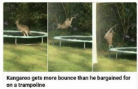 Head, Target, and Tumblr: Kangaroo gets more bounce than he bargained for  on a trampoline amultitudeofsins:My head hurts from laughing at this so hard