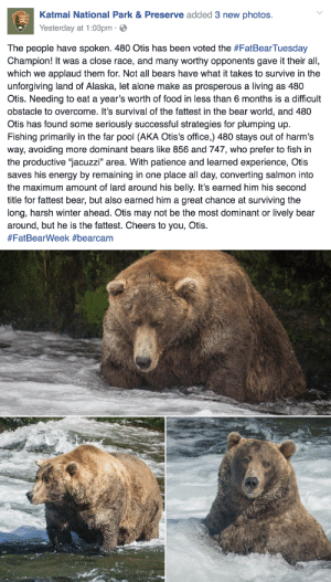 "Being Alone, Animals, and Bad: Katmai National Park&Preserve added 3 new photos.  Yesterday at 1:03pm-  The people have spoken. 480 Otis has been voted the #FatBearTuesday  Champion! It was a close race, and many worthy opponents gave it their all,  which we applaud them for. Not all bears have what it takes to survive in the  unforgiving land of Alaska, let alone make as prosperous a living as 480  Otis. Needing to eat a year's worth of food in less than 6 months is a difficult  obstacle to overcome. It's survival of the fattest in the bear world, and 480  Otis has found some seriously successful strategies for plumping up.  Fishing primarily in the far pool (AKA Otis's office,) 480 stays out of harm's  way, avoiding more dominant bears like 856 and 747, who prefer to fish in  the productive ""jacuzzi"" area. With patience and learned experience, Otis  saves his energy by remaining in one place all day, converting salmon into  the maximum amount of lard around his belly. It's earned him his second  title for fattest bear, but also earned him a great chance at surviving the  long, harsh winter ahead. Otis may not be the most dominant or lively bear  around, but he is the fattest. Cheers to you, Otis.  i-am-jayde:  triplehamburgerjack:  rosepetalbath:  I'm proud of him  He is just fucking great.  Fat pets who are obviously unhealthy:  Bad Wild animals who are fat because of humans:  Bad Wild animals who are supposed to be fat:  Good Wild animals who have gotten super fat because they're just that good at survival:  Very Good"