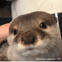 Dank, Happy, and 🤖: kawauso sakura I TW Morning greetings, are you happy to see me?   By Mako and Sakura the otter