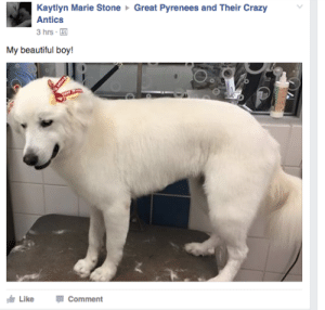 "Beautiful, Blessed, and Chihuahua: Kaytlyn Marie Stone Great Pyrenees and Their Crazy  Antics  3 hrs  My beautiful boy!  Like  Comment gardeninthevoid:  thathighclassbitch:  how-to-train-your-writer:   thathighclassbitch:  speciesofleastconcern:  teapotsahoy:  twentyghosts:  queerautism:  actualdisasterbi:  republicansareahategroup:  scifinut:   missanthropicprinciple:  mcdyke:  lesbian-lizards:   jimmyfury:  iskariotrising:  PEOPLE ARE SO CONCERNED ABOUT THIS DOGS MASCULINITY HES A DOG  no you don't understand. People freak the fuck out if you don't enforce human gender roles on dogs. They get fucking belligerent. I work in a pet store and the number of times people have gotten LIVID with me for not just automatically assuming their dog not only required but personally wanted the most stringent enforcement of human gender norms is mindblowing. People demand dog shampoos that smell ""masculine"" because ""He's a boy he doesn't want to smell like flowers"" even though he's a dog and if he had his way he would smell like duck poop. And those shampoos exist! That's the worst part! There's enough demand for dog shampoo that smells like Axe body spray that they exist and they sell well. Or the seemingly nice old lady that shouted ""PINK! OBVIOUSLY! SHE'S GIRL SHE HATES OTHER COLORS!"" at me when i asked what color harness she wanted for her lapdog. Even though her dog can't actually see the color pink and does not now and will not ever give a single flying dog fart what color her harness is.  Even our pets have to deal with our gender socialization bullshit.   I work in a pet store. Can confirm. If I don't know the sex of the dog, and say, I pick up a blue lead to show the customer it's different uses, I'll get ""well she's a girl, so"" and I'm like? Um? I'm just showing you it's functions, there's like 20 different colours here you can choose from?  And my manager wants us to separate boys coats/accessories and girl coats/accessories for accessibility for the customers……. like…….?  ??????? They're dogs.  This. Is. BULLSHIT.Also, when I worked at a grooming salon, one groomer would bring in her family's dogs. Poms, the lot of them. They all got bows. Even the boy. He was a goddamn beautiful dog.Customers got mad. About a boy dog wearing bows. A boy dog THAT WAS NOT THEIR DOG wearing bows. Let that sink in.   Actually just like a week ago someone got testy with me because I put my female chihuahua in a blue polo shirt and they were like ""she's a girl she looks like a boy in that"" and I was just like… She's a dog.  I am so tempted to put the biggest fucking pink bow I can find on my dog and parade him around the neighborhood.  Fuck this gender roles bullshit.  He's a 12 year old dumbass who sometimes falls down the ONE (1) step on our porch because he gets too excited and forgets that he has back legs that don't work right (vet says it's a degenerative nerve thing, common in older labs).  HE WOULD GLADLY ROLL IN HIS OWN SHIT IF WE LET HIM - HE COULDN'T GIVE TWO FUCKS IF HE IS IN A BOW OR A BANDANA, I PROMISE.   My puppy wears bandanas sometimes, including a really cute pink one with white hearts that I love. One time this old lady at the park was absolutely BAFFLED that I would put a pink thing on my Boy Dog. Literally accused me of trying to confuse people, asked why I'd put that on him. I was just??? It's cute and I like it the puppy really couldn't give less of a shit   My cat Duarte is male and he wears a pink collar with a tag that says ""Beautiful Angel Princess"" on the side that doesn't have my contact info, because he's my beautiful angel princess obv, and it throws the vet staff for a LOOP every time  People get upset when I walk boy dogs with my hot pink leash (because I lose leashes, so I like them highly visible.Like,  one, maybe this dog has Victorian gender norms, and considers pink very masculine? two: it's not the dog's leash, it's mine.  People putting gender norms on house pets is wild. They're just living cuddle bears they don't have gender.   The person who grooms our dog always puts little bows on his harness. Adorable.   OH NO, NUGGET! TAKE THAT SHIRT OFF. THAT'S NOT M A N L Y, NUGGET! OH NO HE'S WEARING AIRPODS HE CAN'T HEAR ME OH NO!    Oh n o oh gfpd I'm shahmking I m cr yjiing  i was so fucking angry reading this post and then you blessed me with nugget"