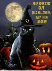Keep your cats safe this Halloween, keep them inside  #halloween: KEEP YOUR CATS  SAFE  THIS HALLOWEEN,  KEEP THEM  INDOORS! Keep your cats safe this Halloween, keep them inside  #halloween