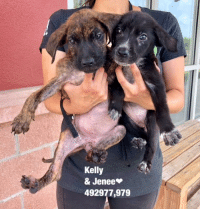 Alive, Dogs, and Food: Kelly  & Jenee  492977,979 ALL THESE DOGS ARE LOCATED AT THE 151/ACS CAMPUS & BEING MARKETED BY SAN ANTONIO PETS ALIVE FOR THE URGENT DOGS AT THE CITY SHELTER!!  Email Placement@sanantoniopetsalive.org if you are interested in Adopting, Fostering, or Rescuing!                                                                                                                                                                                                                                                                                                                                                             ** Please note that San Antonio Pets Alive is a separate organization from the SA city shelter (Animal Care Services). This page was created and updated by the no-kill organization, San Antonio Pets Alive to market and help save the lives of the dogs on the euthanasia list at the SA City shelter**  We are open from 11AM-7PM Mon -Fri, 11AM-5PM Sat and Sun. Urgent Pets are at Animal Care Services/151 Campus. SAPA! is Only in Bldg 1 GO TO SAPA BLDG 1 & bring the Pet's ID! Address: 4710 Hwy. 151 San Antonio, Texas 78227 (Next Door to the San Antonio Food Bank on 151 Access Road) **All Safe Dogs can be found in our Safe Album.