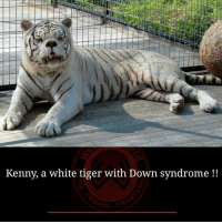 Memes, Down Syndrome, and Tiger: Kenny, a white tiger with Down syndrome