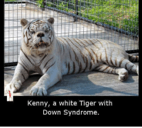 Tiger: Kenny, a white Tiger with  Down Syndrome.