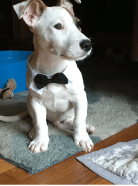 Humane Society, Atlanta, and All: Kevn (our rescue from the Atlanta Humane Society) is all dressed up to meet you!