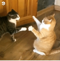 9gag, Be Like, and Life: Keyboard warriors in real life be like Follow @meowed cat keyboardwarrior catfight 9gag
