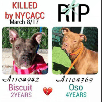 DeathrowDogs RIP🌹 NY DOGS adopt rescue foster SaveALife surrenders strays NoChance Killed Euthanized Senior Baby* Shameful InnocentVictims Heartbreaking NOKill March082017 10DEAD TheyMattered Pray4Change AsinineExcuses CIRDC DidNotDeserveThis . REASONS THEY WERE KILLED BY NYCACC WERE ~ . . • BISCUIT - A1194942 - 2YEARS - STRAY - Adoptable - Manhattan - A Wary yet Calm Girl that LIKED Affection😊. She just NEEDED a Slow-Soft approach to make her feel Comfortable😔😢💔 . . • OSO - A1104369 - 4YEARS - BITE (not much for details was given😠) - RescueOnly - Manhattan - Oso was a Calm-Quiet-Gentle Boy😊. He was Friendly-Outgoing-Playful and Excitable. Liked to Solicit Attention. 😊😢💔💔 . BOTH OF THESE PUPS WERE LISTED FOR JUST ONE NIGHT ONLY‼️ 💔NO ONE CAME FORWARD TO HELP THEM 😢💔 . GOD BLESS THE INNOCENT VICTIMS 🙏🏻💓 . ▶️ CHANGE.ORG PETITION IN MY BIO FOR GOVERNOR OF NYC TO STOP THE KILLINGS ~ 🙏🏻PLEASE BE THEIR VOICES AND SIGN!!!: KILLED  by NYCACC  arch 8/17  1104942  Biscuit  YEARS  FiiP  1104.369  Oso  YEARS DeathrowDogs RIP🌹 NY DOGS adopt rescue foster SaveALife surrenders strays NoChance Killed Euthanized Senior Baby* Shameful InnocentVictims Heartbreaking NOKill March082017 10DEAD TheyMattered Pray4Change AsinineExcuses CIRDC DidNotDeserveThis . REASONS THEY WERE KILLED BY NYCACC WERE ~ . . • BISCUIT - A1194942 - 2YEARS - STRAY - Adoptable - Manhattan - A Wary yet Calm Girl that LIKED Affection😊. She just NEEDED a Slow-Soft approach to make her feel Comfortable😔😢💔 . . • OSO - A1104369 - 4YEARS - BITE (not much for details was given😠) - RescueOnly - Manhattan - Oso was a Calm-Quiet-Gentle Boy😊. He was Friendly-Outgoing-Playful and Excitable. Liked to Solicit Attention. 😊😢💔💔 . BOTH OF THESE PUPS WERE LISTED FOR JUST ONE NIGHT ONLY‼️ 💔NO ONE CAME FORWARD TO HELP THEM 😢💔 . GOD BLESS THE INNOCENT VICTIMS 🙏🏻💓 . ▶️ CHANGE.ORG PETITION IN MY BIO FOR GOVERNOR OF NYC TO STOP THE KILLINGS ~ 🙏🏻PLEASE BE THEIR VOICES AND SIGN!!!