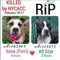 DeathrowDogs RIP🌹 NY DOGS adopt rescue foster SaveALife surrenders strays NoChance Killed Euthanized Senior Baby* Shameful InnocentVictims Heartbreaking NOKill February182017 22DEAD TheyMattered Pray4Change AsinineExcuses CIRDC DidNotDeserveThis . REASONS THEY WERE KILLED BY NYCACC WERE ~ . . • XENA aka FERN - A1042963 - 4YEARS - BITE - RescueOnly - Manhattan - A Loving-Friendly ànd Affectionate young girl who was Active & Outgoing 😊💔😢 . • ALL STAR - A1103673 - 2YEARS - STRAY - RescueOnly - Manhattan - All Star was a Happy and Excitable Young Boy who was Scared & Anxious in the ACC Environment😰 😢💔 . BOTH OF THESE PUPS WERE LISTED FOR JUST ONE NIGHT ONLY‼️ 💔NO ONE CAME FORWARD TO HELP THEM 😢💔 . GOD BLESS THE INNOCENT VICTIMS 🙏🏻💓 . ▶️ CHANGE.ORG PETITION IN MY BIO FOR GOVERNOR OF NYC TO STOP THE KILLINGS ~ 🙏🏻PLEASE BE THEIR VOICES AND SIGN!!!: KILLED  by NYCACC  February 18/17  A104296 1105675  Xena (Fern) All Star  Years DeathrowDogs RIP🌹 NY DOGS adopt rescue foster SaveALife surrenders strays NoChance Killed Euthanized Senior Baby* Shameful InnocentVictims Heartbreaking NOKill February182017 22DEAD TheyMattered Pray4Change AsinineExcuses CIRDC DidNotDeserveThis . REASONS THEY WERE KILLED BY NYCACC WERE ~ . . • XENA aka FERN - A1042963 - 4YEARS - BITE - RescueOnly - Manhattan - A Loving-Friendly ànd Affectionate young girl who was Active & Outgoing 😊💔😢 . • ALL STAR - A1103673 - 2YEARS - STRAY - RescueOnly - Manhattan - All Star was a Happy and Excitable Young Boy who was Scared & Anxious in the ACC Environment😰 😢💔 . BOTH OF THESE PUPS WERE LISTED FOR JUST ONE NIGHT ONLY‼️ 💔NO ONE CAME FORWARD TO HELP THEM 😢💔 . GOD BLESS THE INNOCENT VICTIMS 🙏🏻💓 . ▶️ CHANGE.ORG PETITION IN MY BIO FOR GOVERNOR OF NYC TO STOP THE KILLINGS ~ 🙏🏻PLEASE BE THEIR VOICES AND SIGN!!!