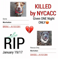 DeathrowDogs RIP🌹 NY DOGS adopt rescue foster SaveALife surrenders strays NoChance Killed Euthanized Senior Baby* Shameful InnocentVictims Heartbreaking NOKill January192017 29DEAD TheyMattered Pray4Change AsinineExcuses DidNotDeserveThis . REASONS THEY WERE KILLED BY NYCACC WERE ~ . • BRINI - A1101391 - 4YEARS - ABANDONED 💔- Adoptable - Manhattan - FOUND TIED TO A GATE IN THE BRONX ALONG WITH BREEZE (A1101390). A Patient-Happy-Playful Sweetheart 😊💓 . • SWISS - A1101384 - 2YEARS - STRAY - Manhattan - RescueOnly - A Playful-Happy-Compact SNUGGLER. SWISS Lived his Life with JOY 💓😊 . BOTH OF THESE PUPS WERE JUST LISTED FOR ONLY ONE NIGHT‼️💔NO ONE CAME TO HELP THEM 😢💔 . GOD BLESS THE INNOCENT VICTIMS 🙏🏻💓 . ▶️ CHANGE.ORG PETITION IN MY BIO FOR GOVERNOR OF NYC TO STOP THE KILLINGS ~ 🙏🏻PLEASE BE THEIR VOICES AND SIGN!!!: KILLED  by NYCACC  Given ONE Night  Gone  ONLY  Manhattan  BRINI A110 1391  RIP  Rescue Only  Manhattan  January 19/17  SWISS 1101384 DeathrowDogs RIP🌹 NY DOGS adopt rescue foster SaveALife surrenders strays NoChance Killed Euthanized Senior Baby* Shameful InnocentVictims Heartbreaking NOKill January192017 29DEAD TheyMattered Pray4Change AsinineExcuses DidNotDeserveThis . REASONS THEY WERE KILLED BY NYCACC WERE ~ . • BRINI - A1101391 - 4YEARS - ABANDONED 💔- Adoptable - Manhattan - FOUND TIED TO A GATE IN THE BRONX ALONG WITH BREEZE (A1101390). A Patient-Happy-Playful Sweetheart 😊💓 . • SWISS - A1101384 - 2YEARS - STRAY - Manhattan - RescueOnly - A Playful-Happy-Compact SNUGGLER. SWISS Lived his Life with JOY 💓😊 . BOTH OF THESE PUPS WERE JUST LISTED FOR ONLY ONE NIGHT‼️💔NO ONE CAME TO HELP THEM 😢💔 . GOD BLESS THE INNOCENT VICTIMS 🙏🏻💓 . ▶️ CHANGE.ORG PETITION IN MY BIO FOR GOVERNOR OF NYC TO STOP THE KILLINGS ~ 🙏🏻PLEASE BE THEIR VOICES AND SIGN!!!