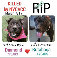 DeathrowDogs RIP🌹 NY DOGS adopt rescue foster SaveALife surrenders strays NoChance Killed Euthanized Senior Baby* Shameful InnocentVictims Heartbreaking NOKill March072017 07DEAD TheyMattered Pray4Change AsinineExcuses CIRDC DidNotDeserveThis . REASONS THEY WERE KILLED BY NYCACC WERE ~ . . • DIAMOND - A1104692 - 7YEARS - PET HEALTH - Adoptable - Manhattan - A Gentle-Shy and Calm Sweet Girl who LIKED Affection and LOVED😍Balls!! She was LEATNNG to be COMFORTABLE playing with her PEERS in Playgroup😌. Her behavior in ACC Kennels was DETERIORATING 😰😢💔 . . • RUTABAGA - A1105080 - 4YEARS - ABANDONED (with 7 MORE dogs) - RescueOnly - Brooklyn - Rutabaga was Wiggly and ALLOWED handling😊. He was 😰SCARED & FRUSTRATED being BARRIER - LEASH RE-ACTIVE 😰😢😢💔 . RUTABAGA WAS TBD LISTED FOR TWO NIGHTS. DIAMOND WAS LISTED FOR JUST ONE NIGHT ONLY‼️ 💔NO ONE CAME FORWARD TO HELP THEM 😢💔 . GOD BLESS THE INNOCENT VICTIMS 🙏🏻💓 . ▶️ CHANGE.ORG PETITION IN MY BIO FOR GOVERNOR OF NYC TO STOP THE KILLINGS ~ 🙏🏻PLEASE BE THEIR VOICES AND SIGN!!!: KILLED  FiiP  by NYCACC  March 7/17  1 104 692  Diamond  Rutabaga  YEARS DeathrowDogs RIP🌹 NY DOGS adopt rescue foster SaveALife surrenders strays NoChance Killed Euthanized Senior Baby* Shameful InnocentVictims Heartbreaking NOKill March072017 07DEAD TheyMattered Pray4Change AsinineExcuses CIRDC DidNotDeserveThis . REASONS THEY WERE KILLED BY NYCACC WERE ~ . . • DIAMOND - A1104692 - 7YEARS - PET HEALTH - Adoptable - Manhattan - A Gentle-Shy and Calm Sweet Girl who LIKED Affection and LOVED😍Balls!! She was LEATNNG to be COMFORTABLE playing with her PEERS in Playgroup😌. Her behavior in ACC Kennels was DETERIORATING 😰😢💔 . . • RUTABAGA - A1105080 - 4YEARS - ABANDONED (with 7 MORE dogs) - RescueOnly - Brooklyn - Rutabaga was Wiggly and ALLOWED handling😊. He was 😰SCARED & FRUSTRATED being BARRIER - LEASH RE-ACTIVE 😰😢😢💔 . RUTABAGA WAS TBD LISTED FOR TWO NIGHTS. DIAMOND WAS LISTED FOR JUST ONE NIGHT ONLY‼️ 💔NO ONE CAME FORWARD TO HELP THEM 😢💔 . GOD BLESS THE INNOCENT VICTIMS 🙏🏻💓 . ▶️ CHANGE.ORG PETITION IN MY BIO FOR GOVERNOR OF NYC TO STOP THE KILLINGS ~ 🙏🏻PLEASE BE THEIR VOICES AND SIGN!!!