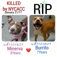 DeathrowDogs RIP🌹 NY DOGS adopt rescue foster SaveALife surrenders strays NoChance Killed Euthanized Senior Baby* Shameful InnocentVictims Heartbreaking NOKill January212017 35DEAD TheyMattered Pray4Change AsinineExcuses DidNotDeserveThis . REASONS THEY WERE KILLED BY NYCACC WERE ~ . . • MINERVA - A1101425 - 3YEARS - ABANDONED: FOUND IN THE PARK, IN THE RAIN😢 - Adoptable - Manhattan - An Underweight Gentle-Quiet-Hesitant-Polite and DAINTY YOUNG GIRL. 😢💔 . . • BURRITO - A1101605 - 7YEARS - MOVE2PRIVA😡- Brooklyn - RescueOnly - A Playful- VERY Affectionate and Excitable Boy who LOVED to PLAY with his PEERS😀. He also had a LOVE of Plastic Bottles and Tennis Balls😍!! Burrito was UNCOMFORTABLE with SOME DIRECT TOUCH (a BIT ANXIOUS in the ACC Environment - owner stated was Friendly to Strangers)💔😢 . BOTH OF THESE PUPS WERE LISTED FOR ONLY ONE NIGHT‼️💔NO ONE CAME TO HELP THEM 😢💔 . GOD BLESS THE INNOCENT VICTIMS 🙏🏻💓 . ▶️ CHANGE.ORG PETITION IN MY BIO FOR GOVERNOR OF NYC TO STOP THE KILLINGS ~ 🙏🏻PLEASE BE THEIR VOICES AND SIGN!!!: KILLED  RIP  by NYCACC  anuary 21/17  1101425 41101605  Minerva  Burrito  7Years  3 Years DeathrowDogs RIP🌹 NY DOGS adopt rescue foster SaveALife surrenders strays NoChance Killed Euthanized Senior Baby* Shameful InnocentVictims Heartbreaking NOKill January212017 35DEAD TheyMattered Pray4Change AsinineExcuses DidNotDeserveThis . REASONS THEY WERE KILLED BY NYCACC WERE ~ . . • MINERVA - A1101425 - 3YEARS - ABANDONED: FOUND IN THE PARK, IN THE RAIN😢 - Adoptable - Manhattan - An Underweight Gentle-Quiet-Hesitant-Polite and DAINTY YOUNG GIRL. 😢💔 . . • BURRITO - A1101605 - 7YEARS - MOVE2PRIVA😡- Brooklyn - RescueOnly - A Playful- VERY Affectionate and Excitable Boy who LOVED to PLAY with his PEERS😀. He also had a LOVE of Plastic Bottles and Tennis Balls😍!! Burrito was UNCOMFORTABLE with SOME DIRECT TOUCH (a BIT ANXIOUS in the ACC Environment - owner stated was Friendly to Strangers)💔😢 . BOTH OF THESE PUPS WERE LISTED FOR ONLY ONE NIGHT‼️💔NO ONE CAME TO HELP THEM 😢💔 . GOD BLESS THE INNOCENT VICTIMS 🙏🏻💓 . ▶️ CHANGE.ORG PETITION IN MY BIO FOR GOVERNOR OF NYC TO STOP THE KILLINGS ~ 🙏🏻PLEASE BE THEIR VOICES AND SIGN!!!