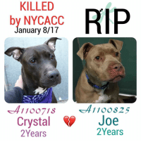 DeathrowDogs RIP🌹 NY DOGS adopt rescue foster SaveALife surrenders strays NoChance Killed Euthanized Senior Baby* Shameful InnocentVictims Heartbreaking NOKill January08-17 14DEAD TheyMattered Pray4Change AsinineExcuses DidNotDeserveThis . THE REASONS THEY WERE KILLED BY NYCACC WERE ~ . . • CRYSTAL - A1100718 - 2YEARS - STRAY - Manhattan - Adoptable - Easy-Gentle-Polite-Timid, LOVES Affection 💓😊 . • JOE - A1100825 - 2YEARS - STRAY - Adoptable - Brooklyn - Relaxed-Friendly-Social. Had minor wounds😢💓 . BOTH OF THESE DOGS WERE JUST LISTED FOR ONE NIGHT ONLY‼️💔NO ONE CAME TO HELP THEM😢💔 . GOD BLESS THE INNOCENT VICTIMS 🙏🏻💓 . ▶️ CHANGE.ORG PETITION IN MY BIO FOR GOVERNOR OF NYC TO STOP THE KILLINGS ~ 🙏🏻PLEASE BE THEIR VOICES AND SIGN!!!: KILLED  RIP  by NYCACC  anuary 8/17  11 OO718  Crystal W  Joe  Years  2 Years DeathrowDogs RIP🌹 NY DOGS adopt rescue foster SaveALife surrenders strays NoChance Killed Euthanized Senior Baby* Shameful InnocentVictims Heartbreaking NOKill January08-17 14DEAD TheyMattered Pray4Change AsinineExcuses DidNotDeserveThis . THE REASONS THEY WERE KILLED BY NYCACC WERE ~ . . • CRYSTAL - A1100718 - 2YEARS - STRAY - Manhattan - Adoptable - Easy-Gentle-Polite-Timid, LOVES Affection 💓😊 . • JOE - A1100825 - 2YEARS - STRAY - Adoptable - Brooklyn - Relaxed-Friendly-Social. Had minor wounds😢💓 . BOTH OF THESE DOGS WERE JUST LISTED FOR ONE NIGHT ONLY‼️💔NO ONE CAME TO HELP THEM😢💔 . GOD BLESS THE INNOCENT VICTIMS 🙏🏻💓 . ▶️ CHANGE.ORG PETITION IN MY BIO FOR GOVERNOR OF NYC TO STOP THE KILLINGS ~ 🙏🏻PLEASE BE THEIR VOICES AND SIGN!!!